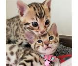 Exotic Bengal Kittens looking mini leopards available!