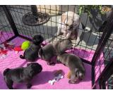 Cute pug puppies available for adoption