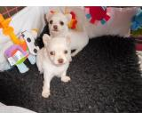 Chihuahua Puppies For Christmas