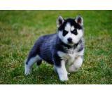 BLUE EYES SIBERIAN HUSKY PUPS AVAILABLE