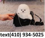 Exceptional t-cup pomeranian puppies for sale.