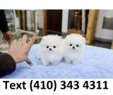 Outstanding tiny t-cup pomeranian puppies for sale.