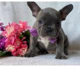 Beautiful Fully Maskless French Bulldog Puppies