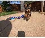 6 Beautiful Yorkshire Terrier Puppies For Sale