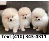 Amazing purebreed t-cup pomeranian puppies for sale.