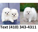 Beautiful mini t-cup pomeranian puppies for sale.