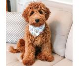 Playful & Healthy GoldenDoodles Puppies For Adoption.
