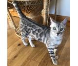 bengal kitten for sale