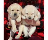Wonderful Labrador Retriever Pups Ready For Re-homing