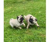 From a litter of 5 health kc reg pugs, I have 2 available