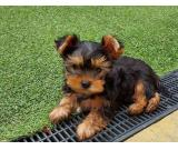 Absolutely beautiful precious teacup Yorkshire terriers ,