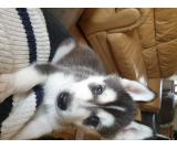 I am proud to announce the arrival of my beautiful Siberian husky