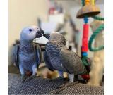 Charlie African grey parrot very loving and friendly tame