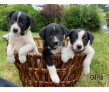 Selling our beautiful litter of 5 border collie puppies 3 female 2 male,