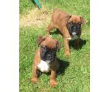 We have a stunning litter of quality boxer puppies available.