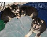3 Siberian husky puppies for adoption