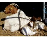 Healthy boer, kalahari red goats, merono sheeps and dorper sheep.. Whatsapp: +27732902805