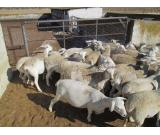 Varieties of Live Stock for sale Cows, Sheep and Goats...Whatsapp: +27732902805