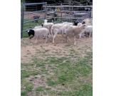 Healthy Meat Master Sheep and lambs For Sale Whatsapp +27734531381