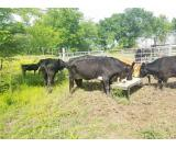 Affordable cattles bull, heifers & calves for Sale whatsapp +27734531381