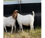 Hot sale Boer Goats, Live Sheep & Live Goats, Dorpers, Kalahari Reds and Whatsapp:+27621354579