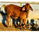 Pure Breed live Sheep , & Live Goats , & Cattle &;Whatsapp:+27621354579