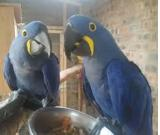 Hand Trained African Grey Parrots