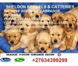 GOLDEN RETRIEVER PUPPIES & DOGS FOR SALE+27634399299